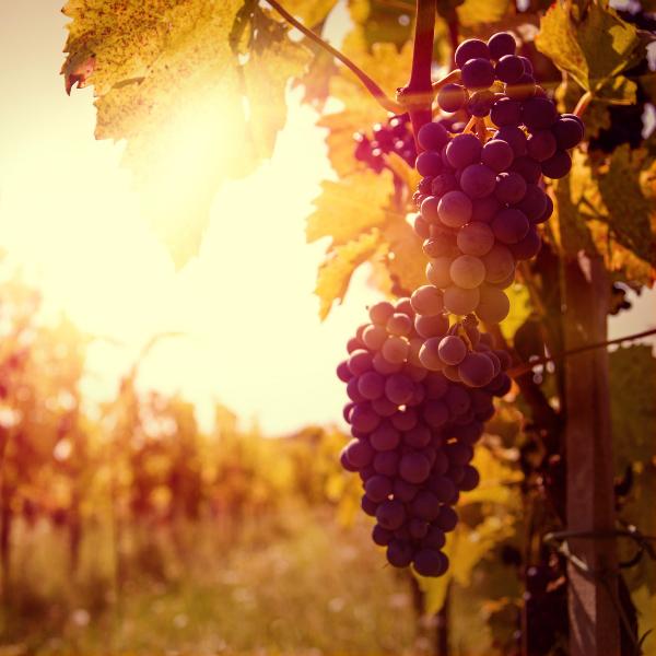 Tagus Vineyards