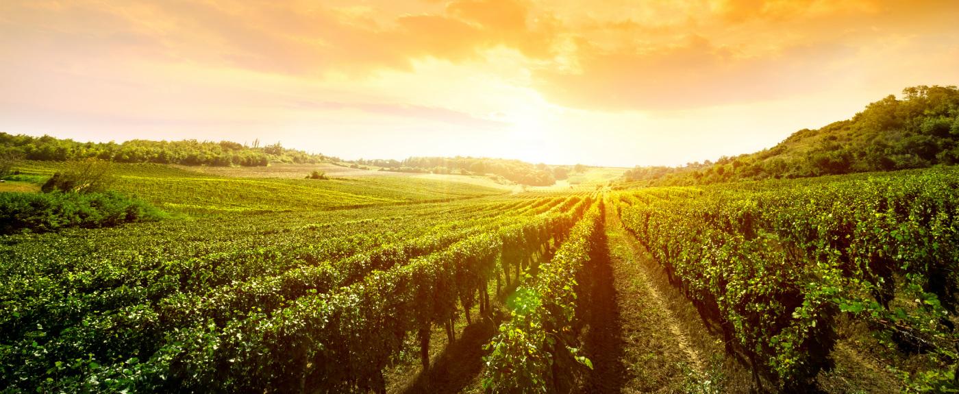 Tagus Vineyards Sunset